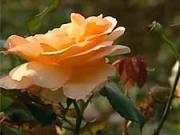 Růže - střihání růží - jak stříhat růže