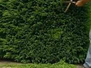 Jehličnaté ploty - jak střihat plot z jehličnanů
