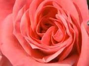Sázení  růží - Jak sázet růže