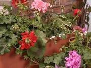 Balkonové květiny - jak sázet balkonové květiny