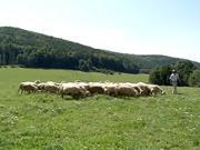 Jak se dělá ovčí sýr - ovčí farma