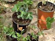 Výsadba jahod a malin - jak sázet jahody, maliny a ostružiny