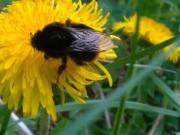 Pampeliškový med - jak připravit pampeliškový med - recept