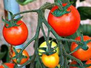 Péče o rajčata v létě - jak se starat o rajčata v léte