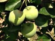 Letní řez jabloní - jak stříhat jabloň