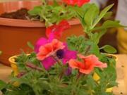 Petúnie - pěstování a rozmnožování petúnii