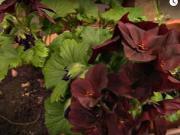 Pěstování muškátů - jak pěstovat muškáty