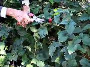 Stříhání ostružin - jak stříhat ostružiny - řez ostružin