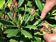 Rododendrony - jak pěstovat rododendrony - střihání rododendronů
