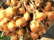 Pěstování cibule - jak pěstovat cibuli