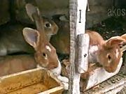 Chov králíků -  Užitný chov králíků